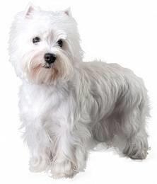West Highland White terrier - fotó és leírás a fajta, ellátás és az élelmiszer-árak és a kölykök, a képzés és