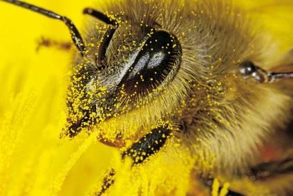 A prosztatitis méhek kezelése