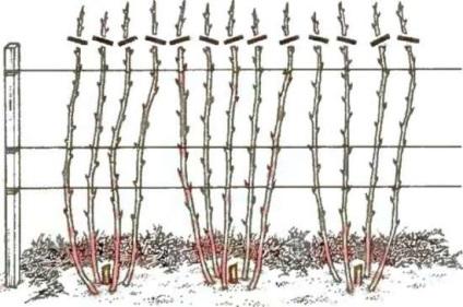Hogyan törődik málna tavasszal (fotó), mint vágott többször virágzó