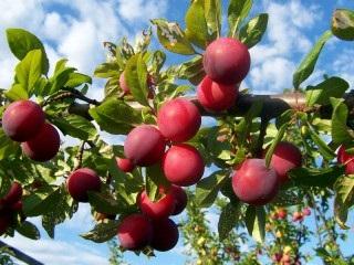 Hogyan törődik a szilva, hogy egy nagy termés