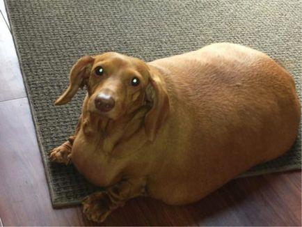 pierderea în greutate dachshund mai veche