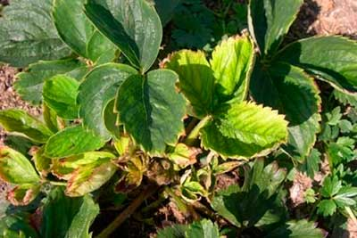 fonálféreg eper férgek