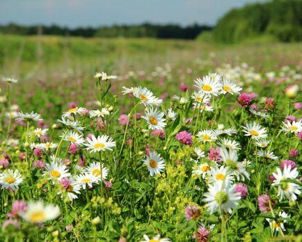 Все полевые цветы названия и фото