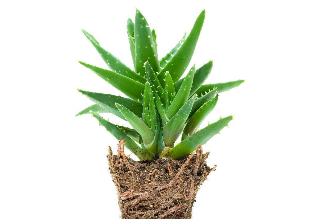 Gyógynövények receptek prosztatitis