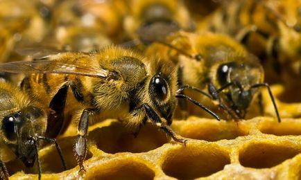 Prostatitis és méhek