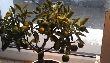 Szárított Kumquat