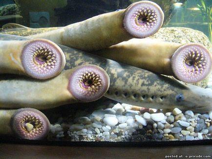 a lamprey parazita