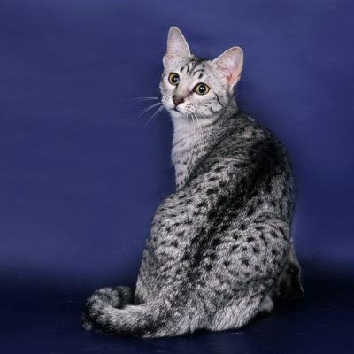 Rasy Kot Egipski Mau Opis Charakter 10 Zdjęcia Filmy