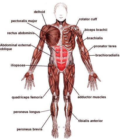 Muskel-Diagramme von großen Muskeln in Gewichtstraining Ausgeübt
