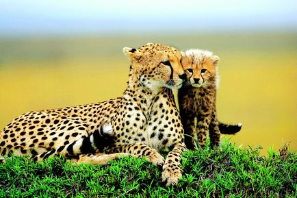 Cheetah и леопард - петнисти роднини