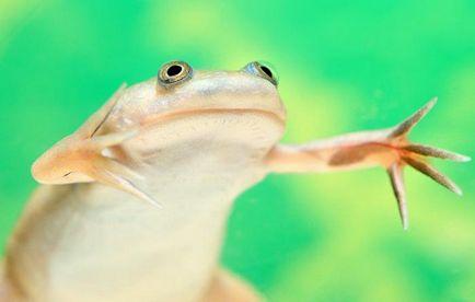 Ноктеста условия жабешки за лишаване от свобода, размножаване, грижи