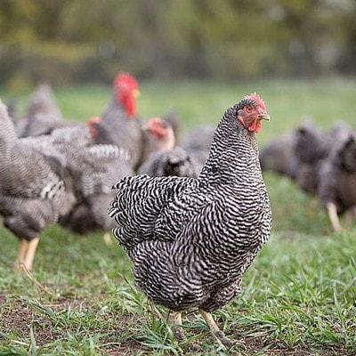 Яйценосен пилета порода, 7 жени, които могат да направят