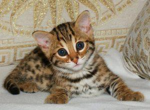 Pisica sălbatică Ussuriysk