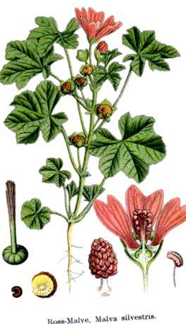 efectele secundare ale plantelor medicinale germane