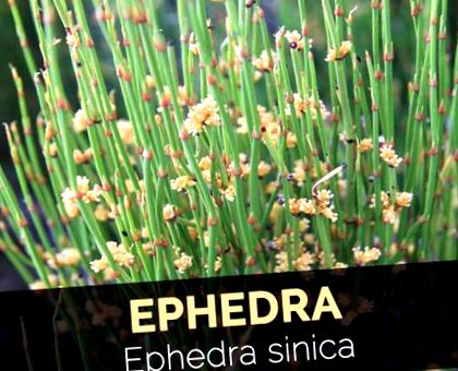 cum se utilizează ephedra pentru pierderea în greutate