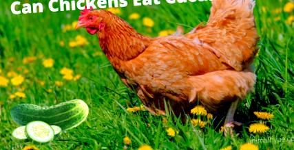csirkék elveszítik látásukat