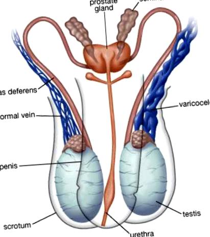 numărul de spermatozoizi și pierderea în greutate