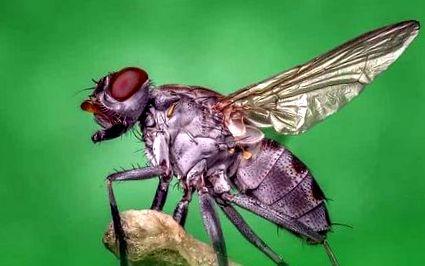 care este viziunea muștelor care este viziunea vacilor