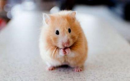 pierderea în greutate în hamsteri