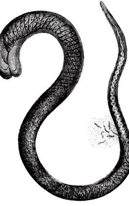 trichina és ostorféreg