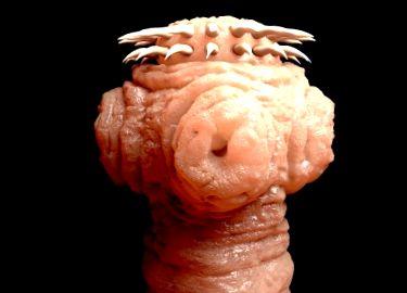 Viermi pitică pitică, Viermi de bandă vermox