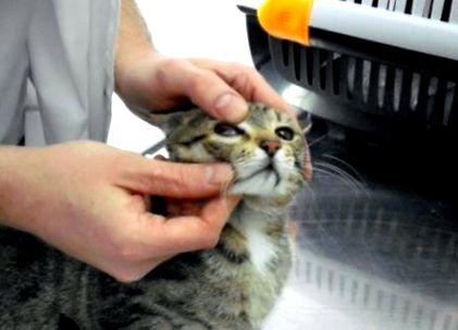 Giardia lamblioza u kota leczenie - Bélféreg, Bélférgesség - Betegségek   Budai Egészségközpont
