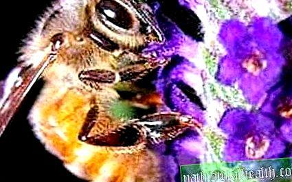 Hasznos tulajdonságok a méh perga