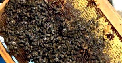 méhek ízületi fájdalmak esetén