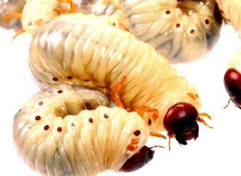 Paraziták kezelése borssal - Bors paraziták