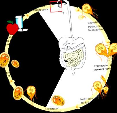 giardiasis ha nem kezelik lehetnek e egyszerre pinwormok és roundworms