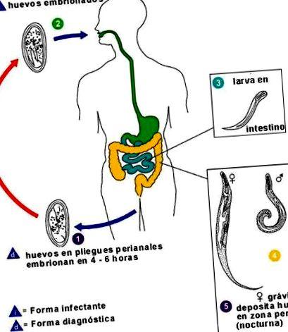 Az enterobiosis utal, Enterobiasis (pinworms) Pinworm életciklusa