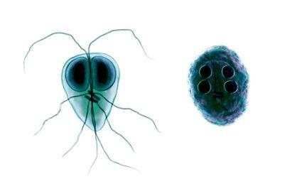 Trichomonas férfiak fertőzésében