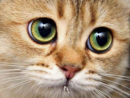 Boala de ochi la pisici imagine de ansamblu, cauze, tratament