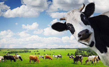 De ce laptele alb, dacă vaca mănâncă iarbă verde