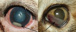 Simptomele și tratamentul bolilor oculare la pisici, ochi fotografii de animale bolnave