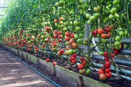 soiuri de tomate cu efect de seră pentru a alege care unul este mai bun