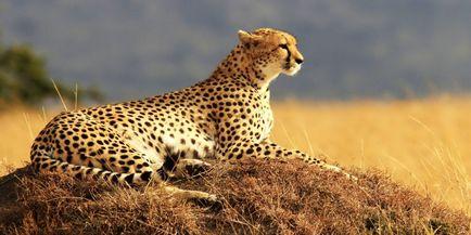 Cheetah - descriere, subspecii, fotografie, în cazul în care trăiește, ceea ce mănâncă