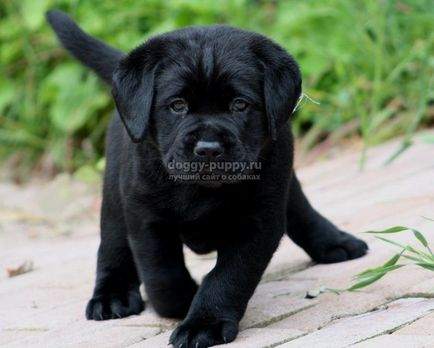 Labrador câini poreclele și semnificația lor
