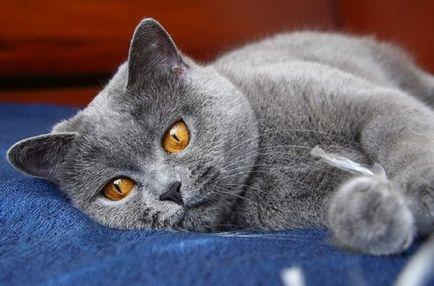 Sânge în urină a unei pisici este motivul apariției sale