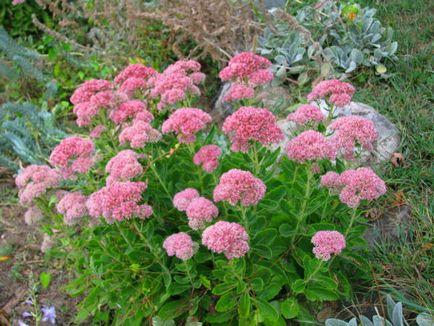 Stonecrop violet minune-plante în grădina mea