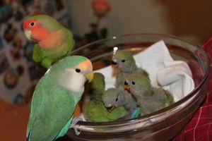 Papagalii, lovebirds și descrierea speciilor cu fotografii și clipuri video, îngrijire și întreținere la domiciliu,
