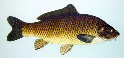 Descriere Pește crap, obiceiuri și moduri de pescuit