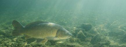 Carp descriere pește, fotografii, video