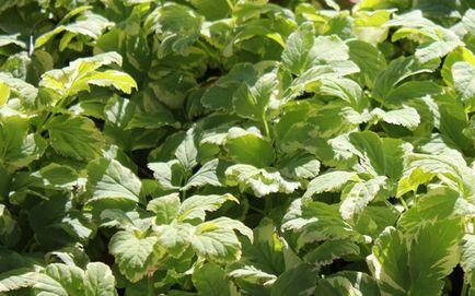 Goutweed - proprietăți utile și contraindicații, goutweed iarbă