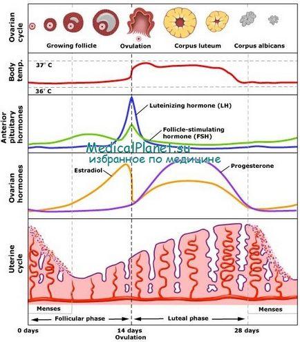 Faza a ciclului menstrual