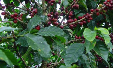 Cum să crească o casă în copac de cafea