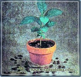 Cum să crească un copac de cafea la domiciliu, locul de grădină, cabana și plante de apartament