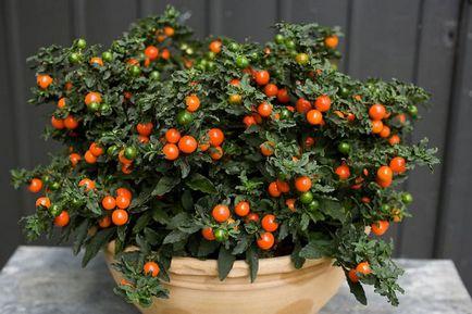 Cum să crească Solanum