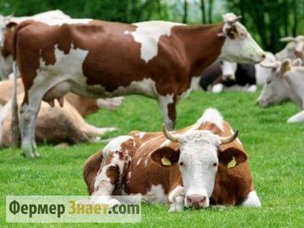 Caracteristicile de inseminare artificială de vaci