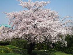 Japoneză Sakura - articole florale